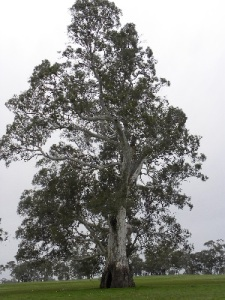 Largest living Red Gum near Mullinger Swamp CP
