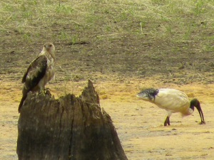 Juvenile Whistling Kite and White Ibis JCD picture