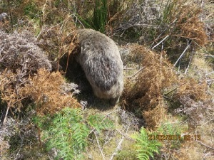 A Wombat; s/he would not turn around for a photo!