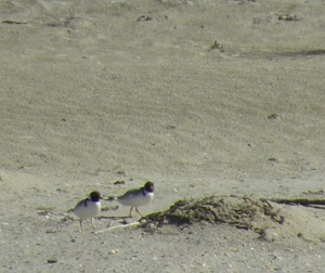 Hooded Plovers on Cloudy Bay Beach; photo JCD