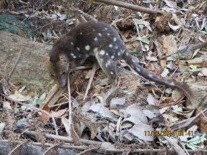 Spotted-tail Quoll - Arthur River