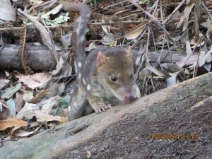 Spotted-tail Quoll - What a cute face!
