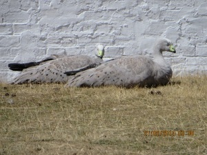 Two Cape Barren Geese enjoying the sun