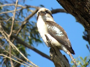 A Kookaburra at work - The Lakes NP JCD photo