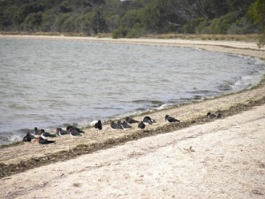 Pied Oyster Catchers at Nepean Bay CP: JCD photo