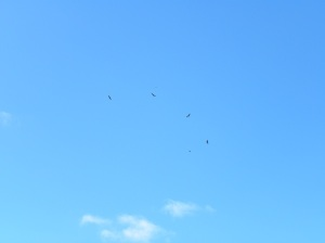 Five Wedge-tail Eagles under siege! JCD photo
