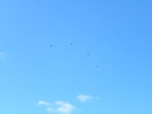 Five Wedge-tail Eagles under siege! JCD photo