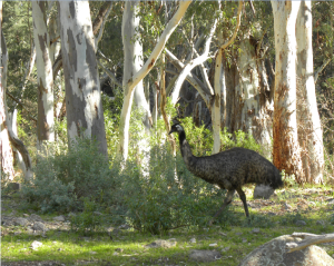 Emu Mambray Creek JCD photo