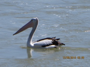 Pelican catching the leftovers
