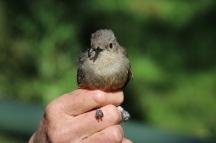 Horsfield Bronze Cuckoo